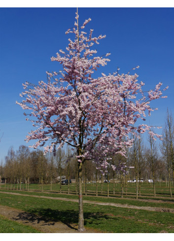 PRUNUS accolade (Cerisier du Japon Accolade)