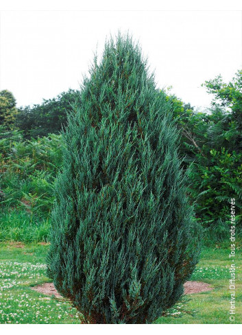 JUNIPERUS scopulorum BLUE ARROW (Genévrier de Virginie Blue Arrow)