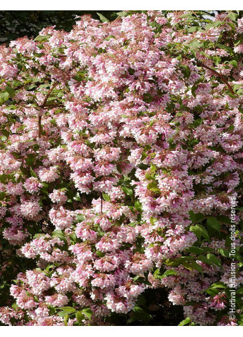 KOLKWITZIA amabilis PINK CLOUD (Buisson de beauté Pink Cloud)