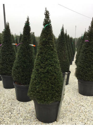 TAXUS baccata (If commun) En pot forme conique