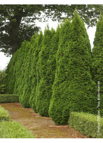 THUJA occidentalis SMARAGD (Thuya Emeraude)