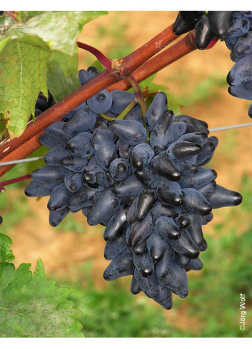 VIGNE DE TABLE PHILIPP cov (Vitis vinifera)