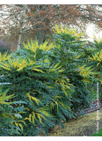 MAHONIA media WINTER SUN (Mahonie hybride Winter sun)