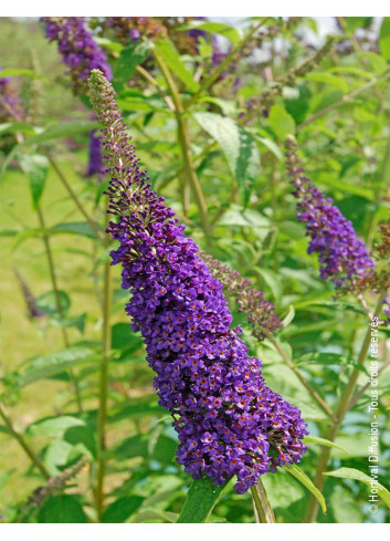 BUDDLEJA davidii EMPIRE BLUE (Arbre aux papillons Empire blue)