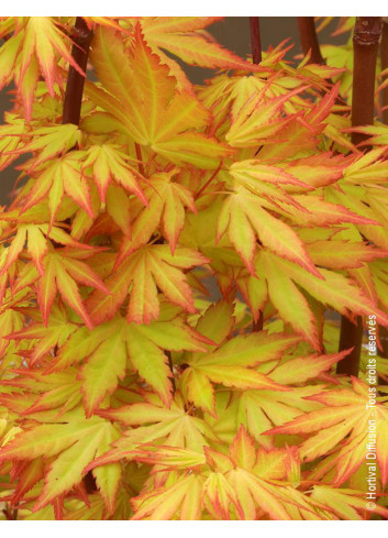 ACER palmatum ORANGE DREAM (Érable du Japon Orange Dream)