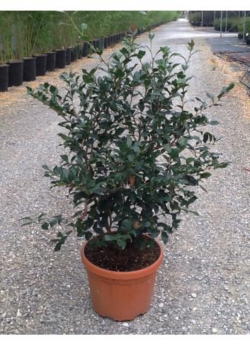 CAMELLIA sasanqua En pot de 15-20 litres forme touffe hauteur 060-080 cm