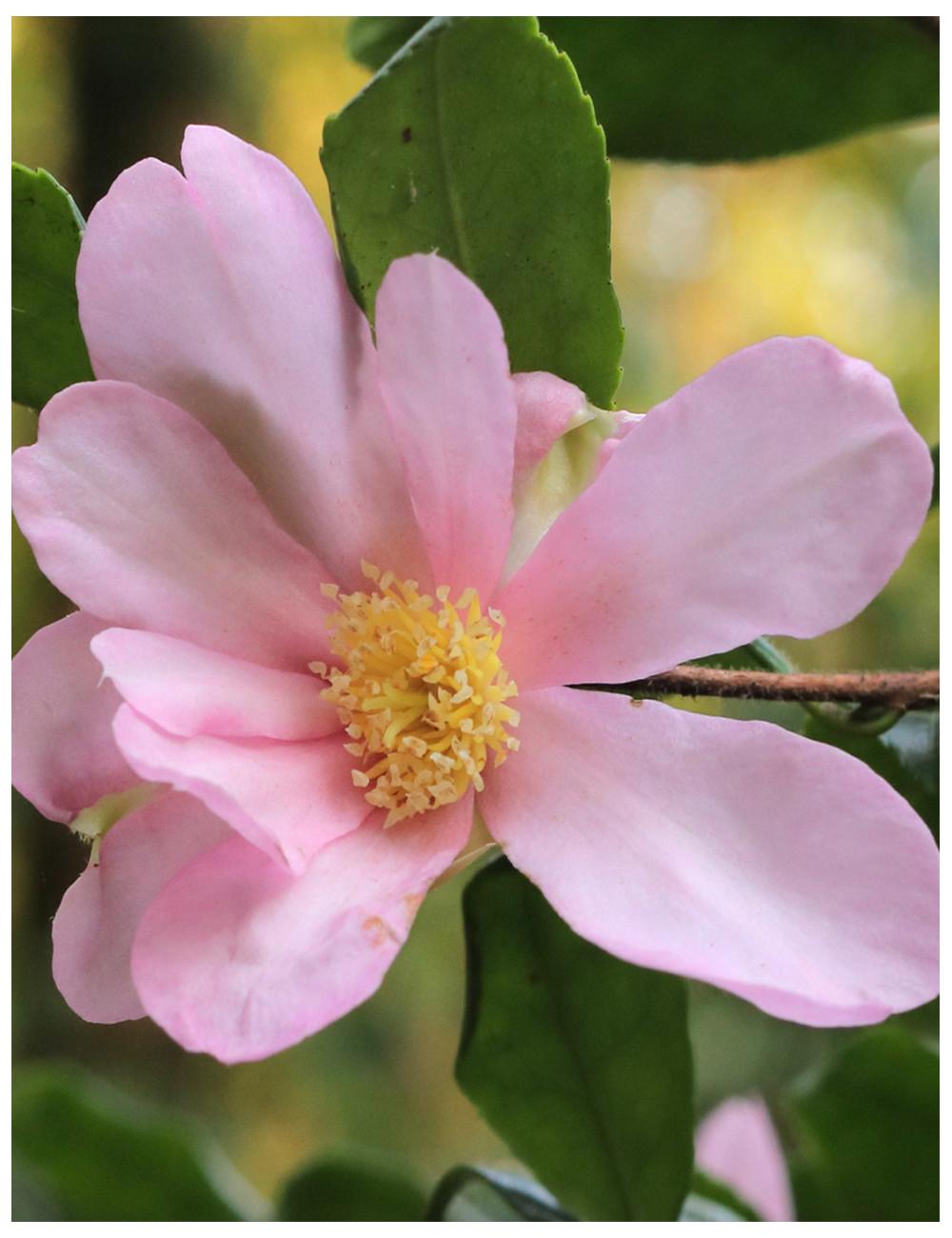 CAMELLIA sasanqua NEW DAWN (Camélia d'automne)