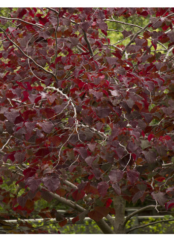 CERCIS canadensis FOREST PANSY (Gainier du Canada Forest Pansy)