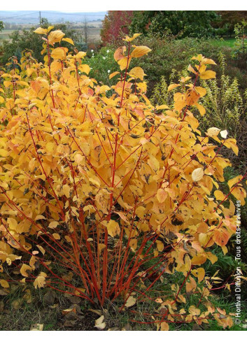 CORNUS sanguinea MAGIC FLAME (Cornouiller sanguin Magic Flame)