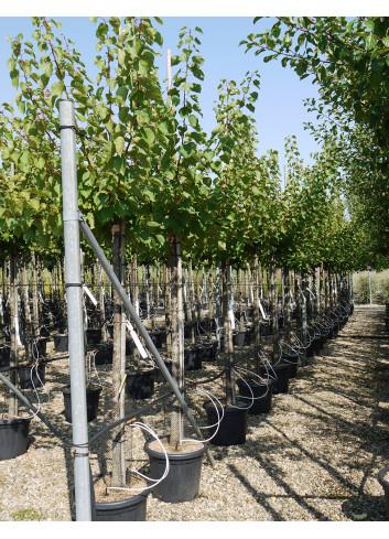 ABRICOTIER En pot de 25-30 litres forme tige hauteur du tronc 110-130 cm