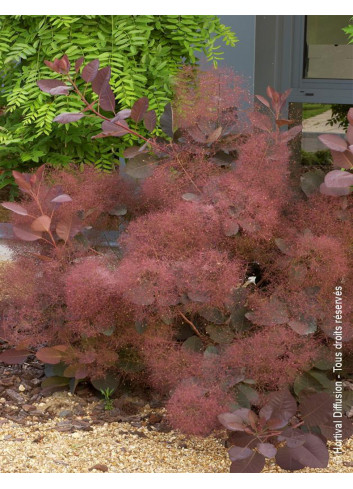 COTINUS grace (Arbre à perruque Grace)