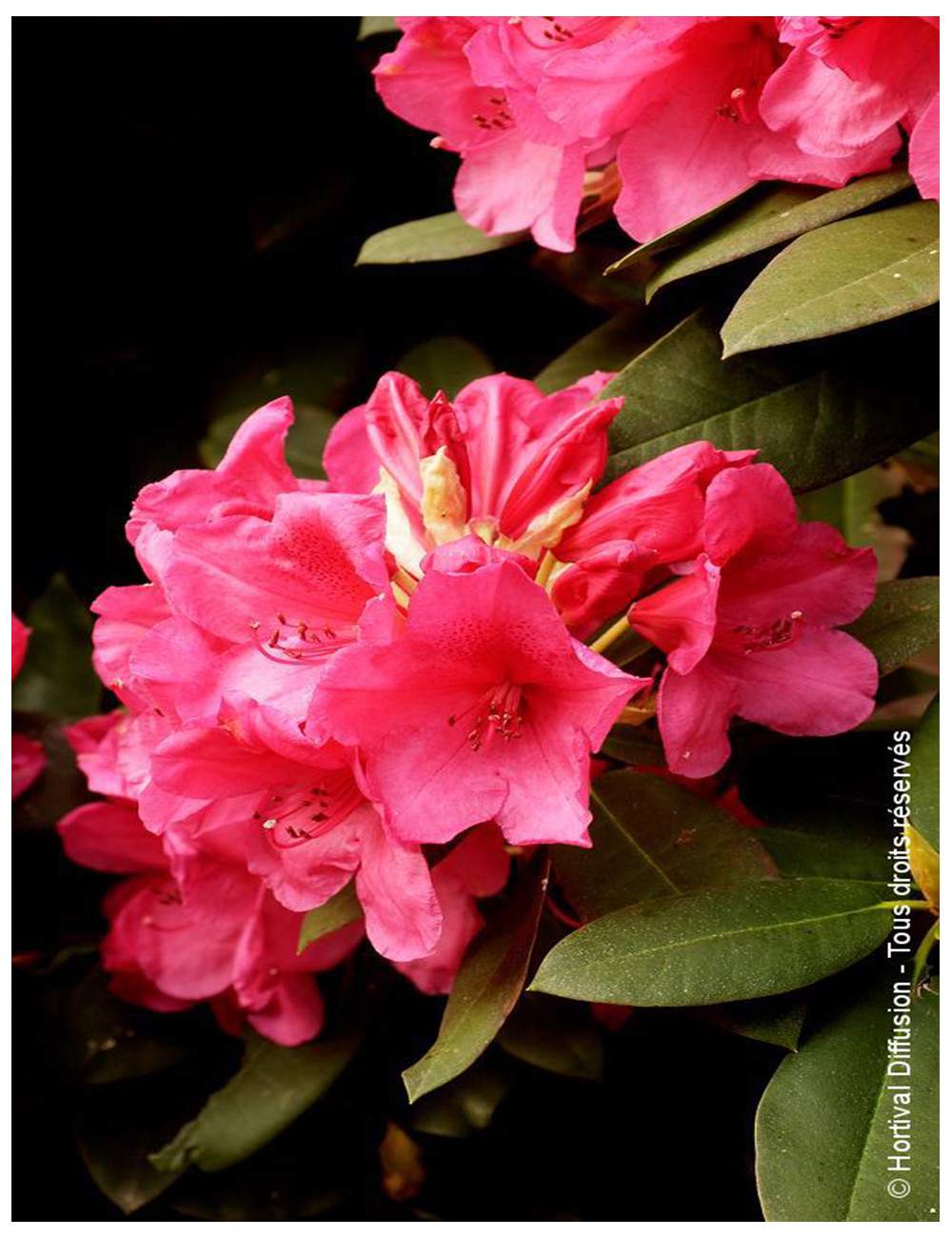 RHODODENDRON hybride ANNA ROSE WHITNEY (Rhododendron)