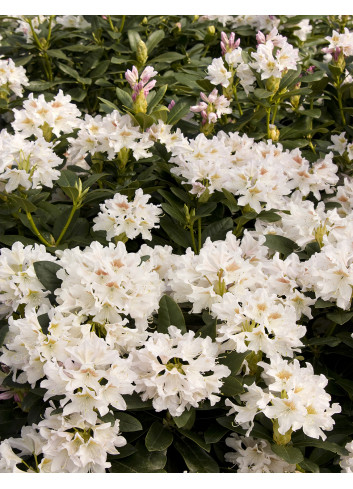 RHODODENDRON hybride CUNNINGHAM'S WHITE