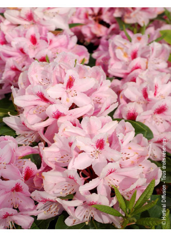 RHODODENDRON hybride FURNIVALL'S DAUGHTER (Rhododendron)
