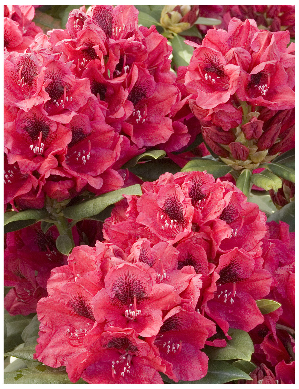 RHODODENDRON hybride LORD ROBERTS (Rhododendron)