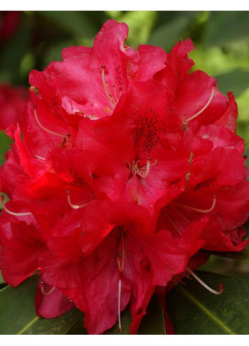RHODODENDRON hybride WILGENS RUBY (Rhododendron)