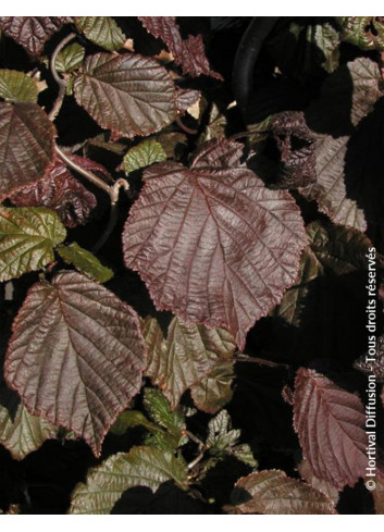 CORYLUS avellana RED MAJESTIC cov (Noisetier tortueux Red Majestic)
