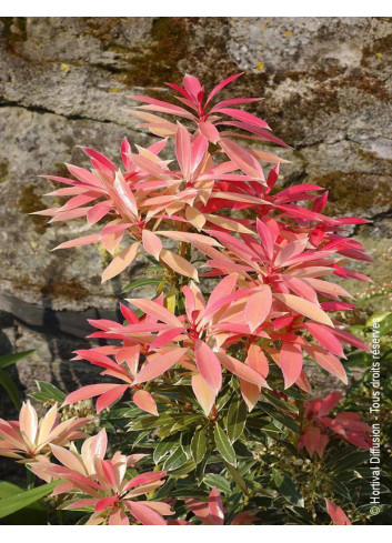 PIERIS japonica FLAMING SILVER (Andromède du Japon Flaming Silver)