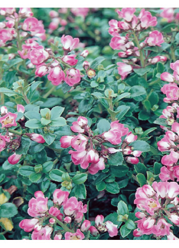 ESCALLONIA PEACH BLOSSOM (Escallonia)