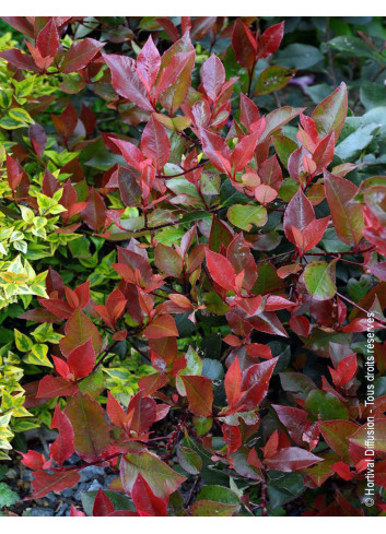 PHOTINIA fraseri LITTLE RED ROBIN (Photinia fraseri Red Robin Nain)