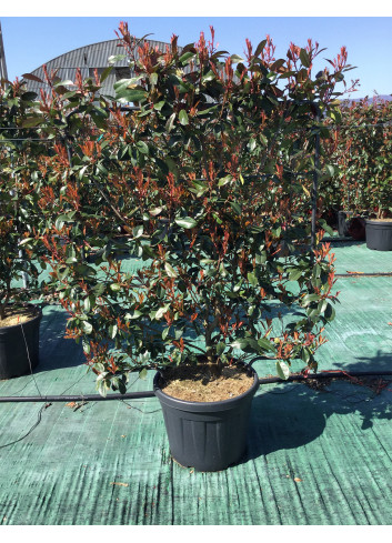 PHOTINIA fraseri RED ROBIN (Photinia fraseri Red Robin) En pot forme palissée