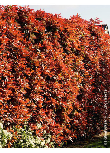 PHOTINIA fraseri RED ROBIN (Photinia fraseri Red Robin)