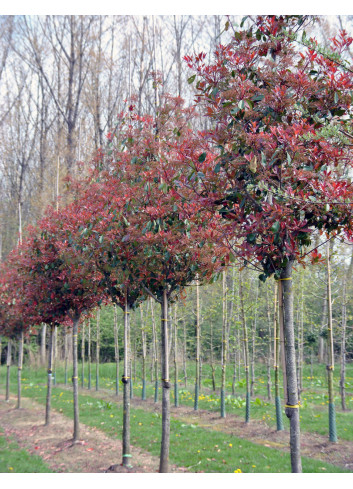 PHOTINIA fraseri RED ROBIN (Photinia fraseri Red Robin) forme tige
