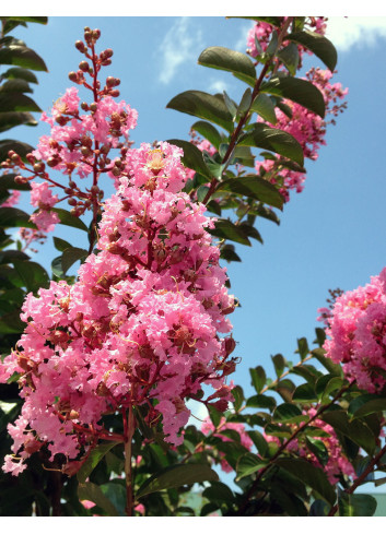 LAGERSTROEMIA indica ROSE (Lilas des Indes)