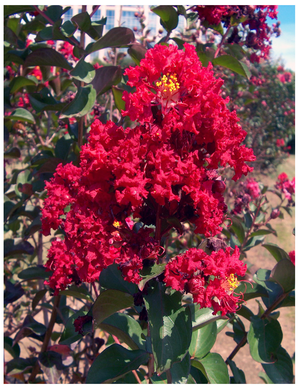 LAGERSTROEMIA indica ROUGE (Lilas des Indes)