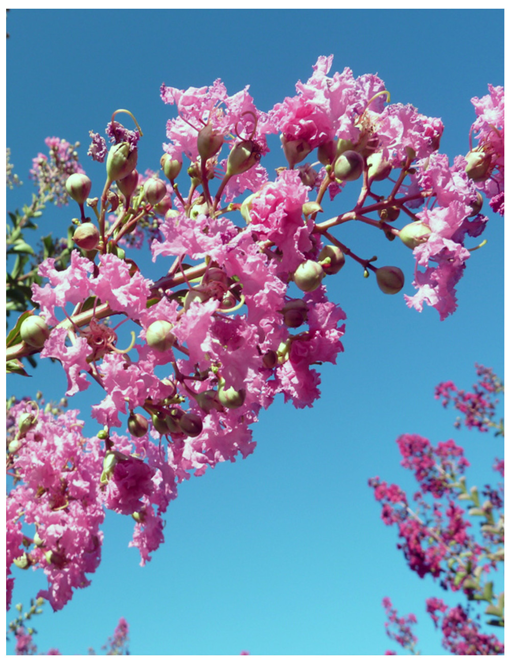 LAGERSTROEMIA indica MONBAZILLAC (Lilas des Indes)