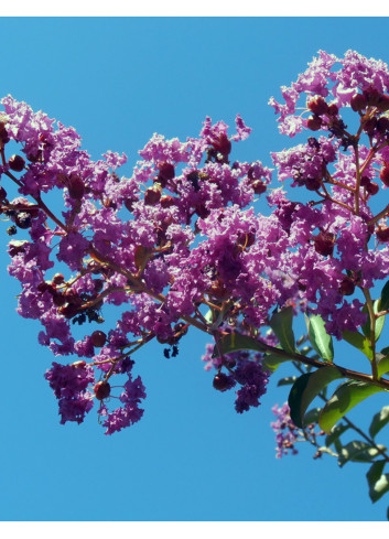 LAGERSTROEMIA indica TERRE CHINOISE (Lilas des Indes)