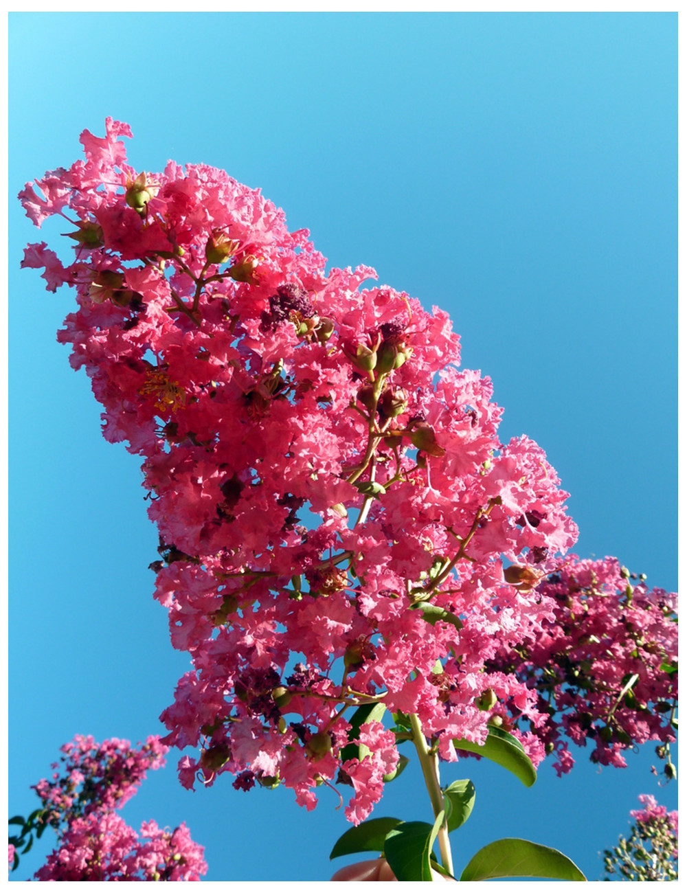 LAGERSTROEMIA indica YANG TSE (Lilas des Indes)