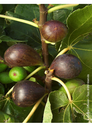 FIGUIER BROWN TURKEY (Ficus carica)