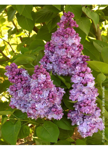 SYRINGA vulgaris KATHERINE HAVEMEYER (Lilas)