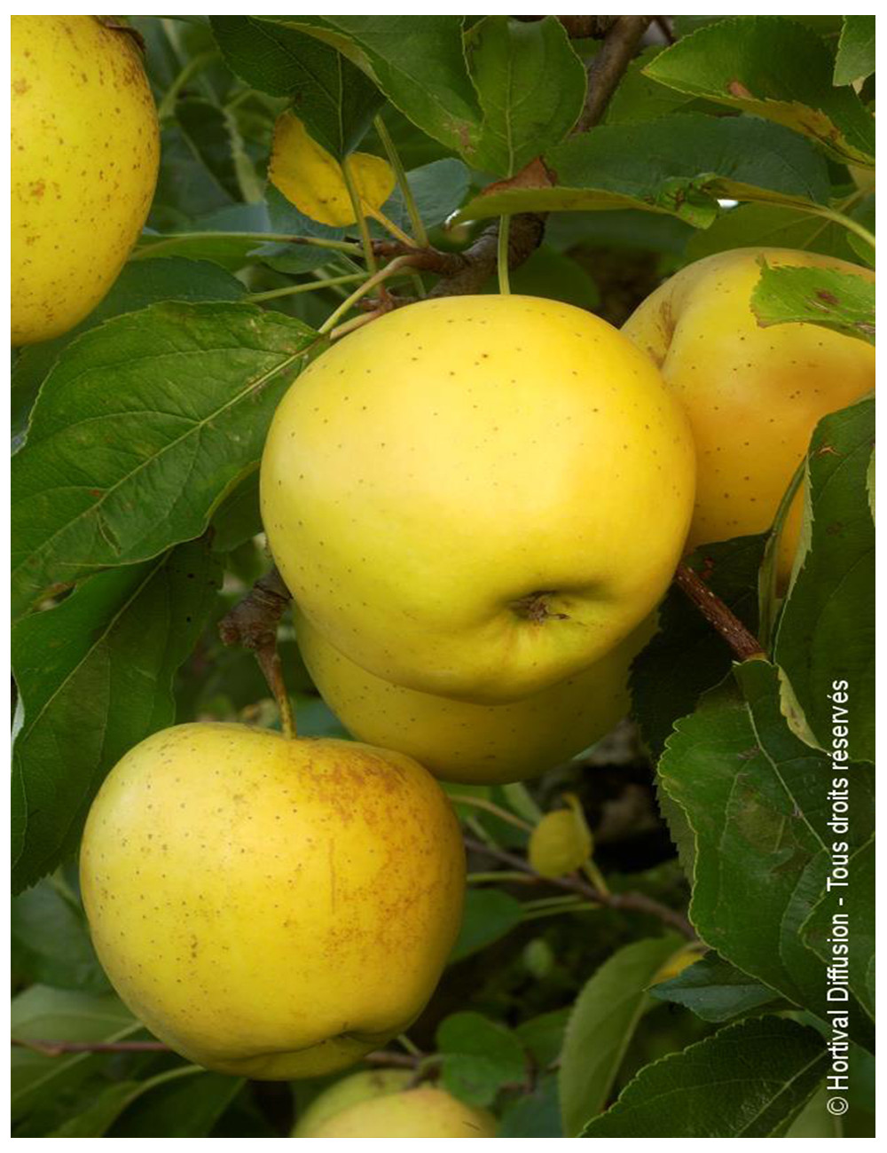POMMIER GOLDEN DELICIOUS (Malus domestica)
