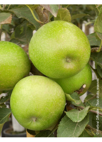 POMMIER GRANNY SMITH (Malus domestica)