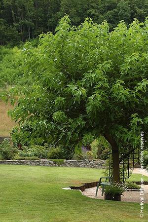 MORUS bombycis FRUITLESS (Mûrier à feuilles de platane stérile)