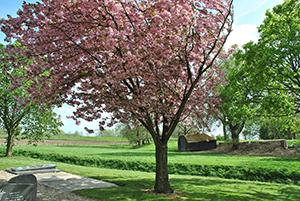PRUNUS serrulata KANZAN (Cerisier du Japon Kanzan)