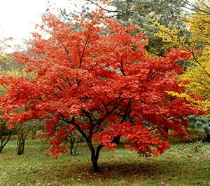 ACER palmatum ATROPURPUREUM (Érable du Japon pourpre)