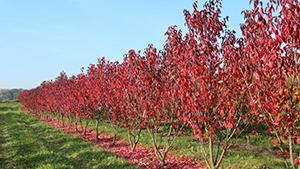 PRUNUS serrulata ROYAL BURGUNDY (Cerisier du Japon Royal Burgundy)